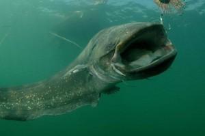 šamų žvejyba ispanija